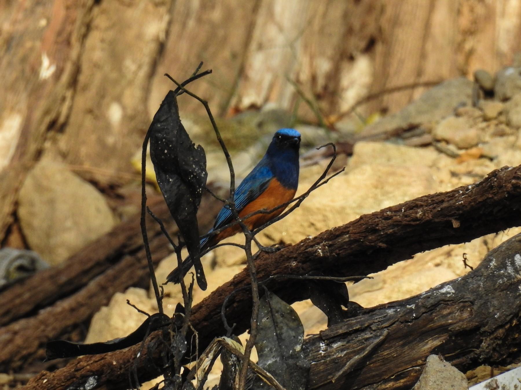 Timor Blue Flycatcher - Pam Rasmussen