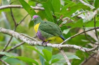 - Yellow-bibbed Fruit-Dove