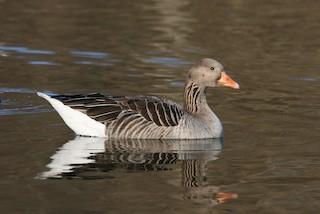 Graylag Goose (European), ML63364071