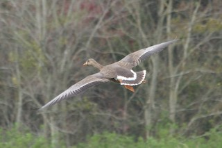 Greater White-fronted Goose, ML63375511