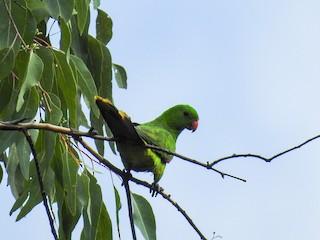 - Olive-shouldered Parrot