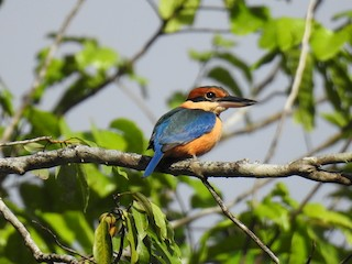 - Cinnamon-banded Kingfisher