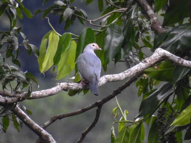 Pink-headed Imperial-Pigeon