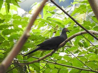 - Slaty Cuckoo-Dove