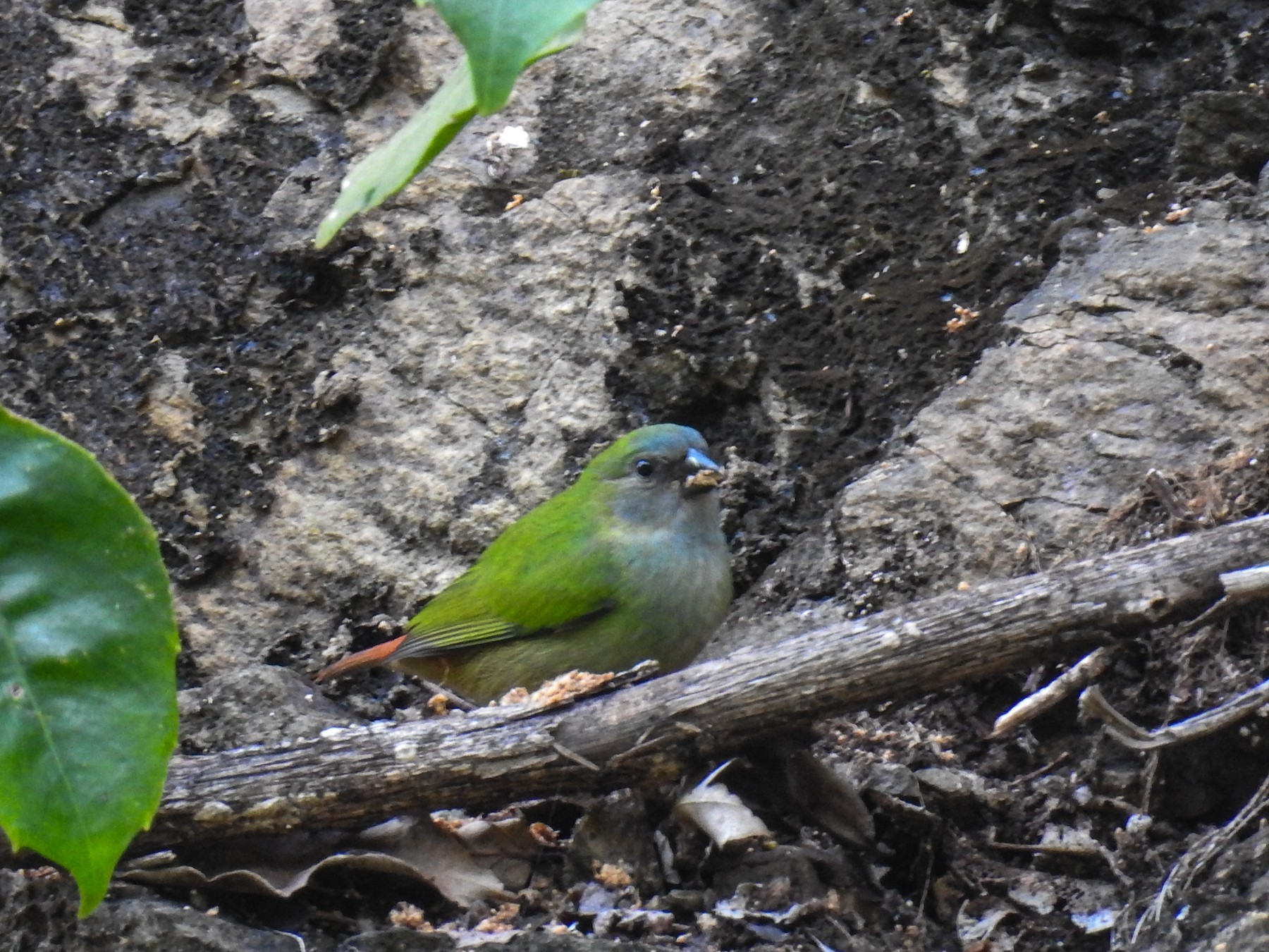 Tricolored Parrotfinch - Pam Rasmussen