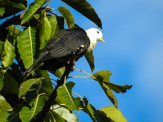 - Black-backed Fruit-Dove