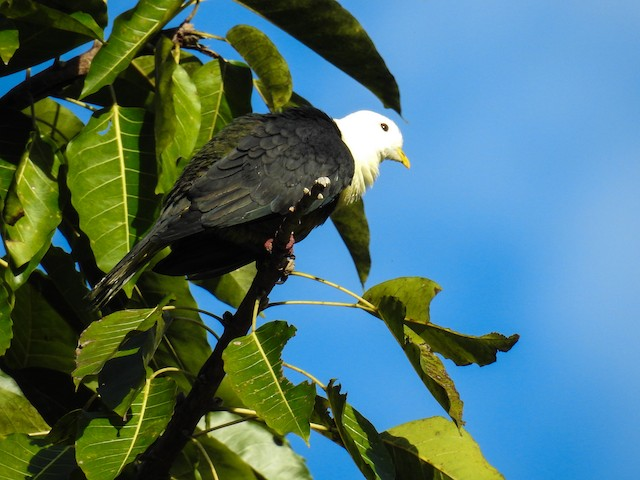 Black-backed Fruit-Dove