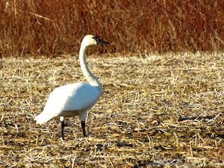 Trumpeter Swan, ML63397461