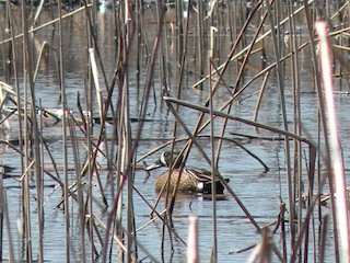 Blue-winged Teal, ML63570511