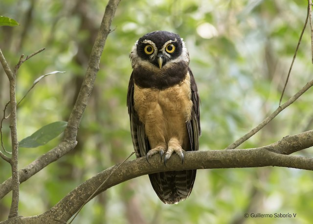 Spectacled Owl Ebird