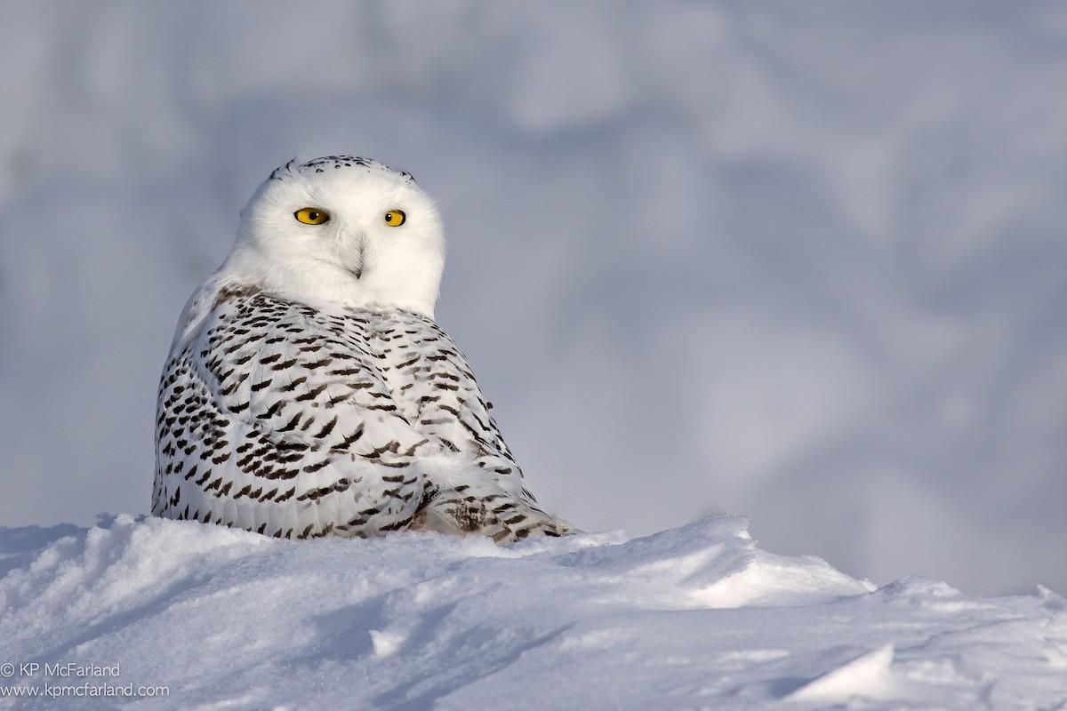 Snowy Owl ML63613131
