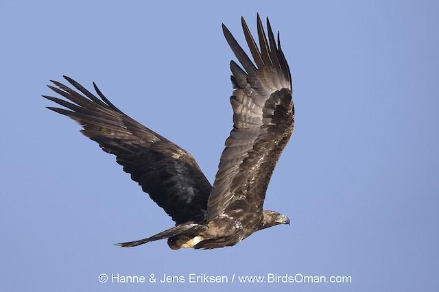 Golden Eagle (Oman).
