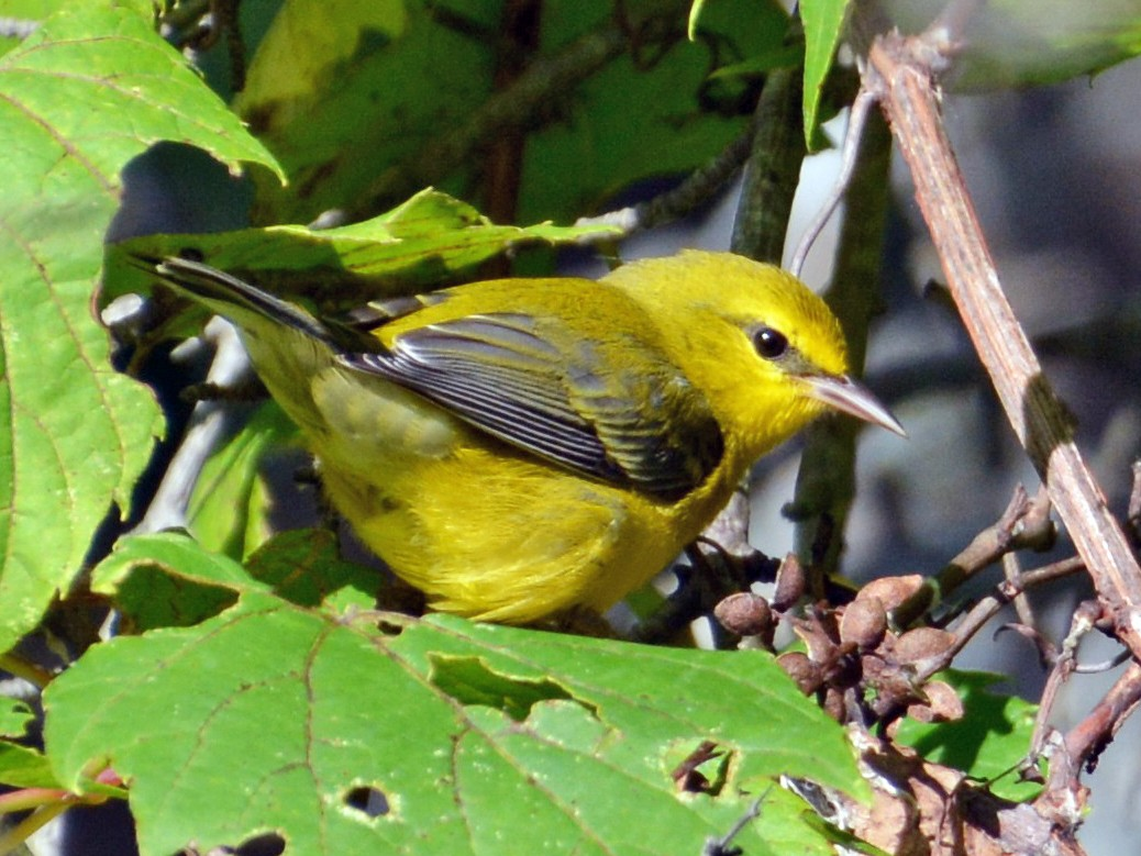 Blue-winged Warbler - Jeremy Collison