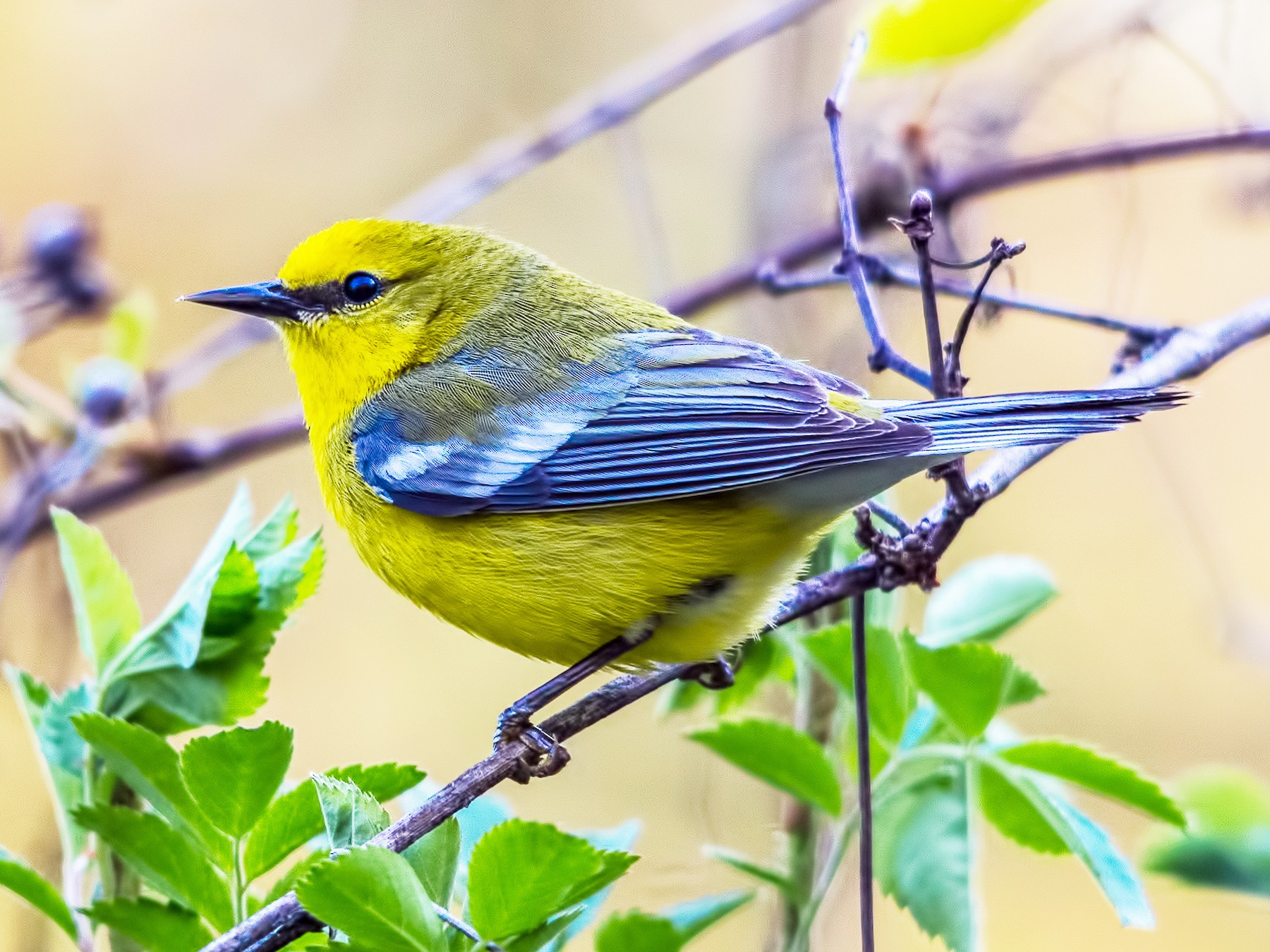 Blue-winged Warbler - Rex Bartlett