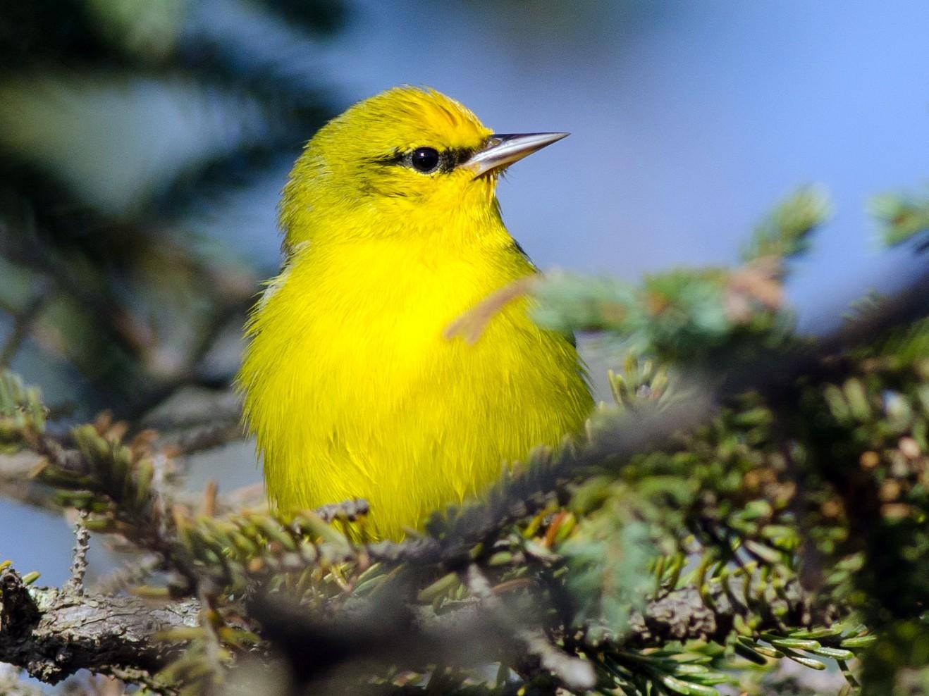 Blue-winged Warbler - Alix d'Entremont