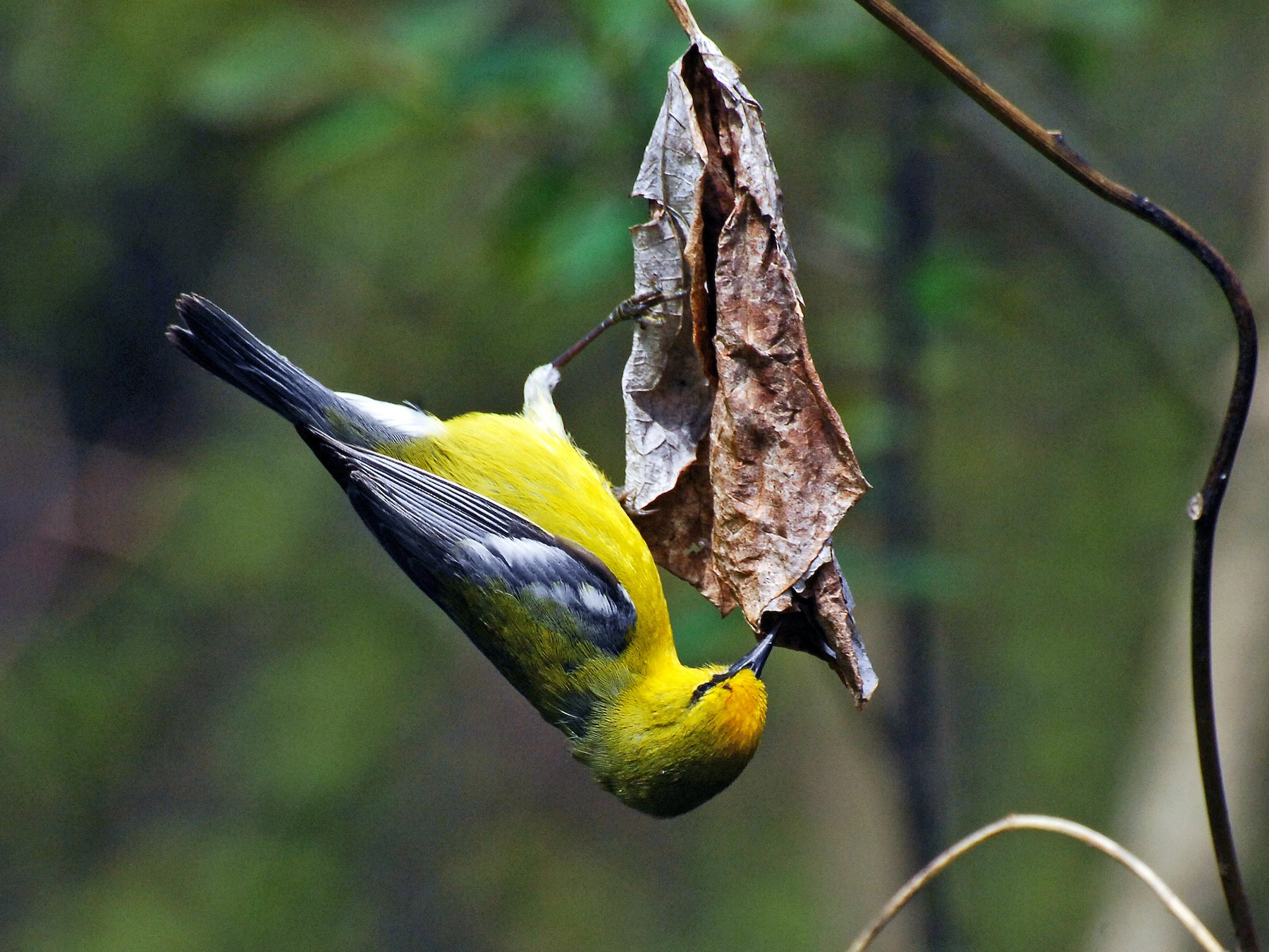 Blue-winged Warbler - David M. Bell