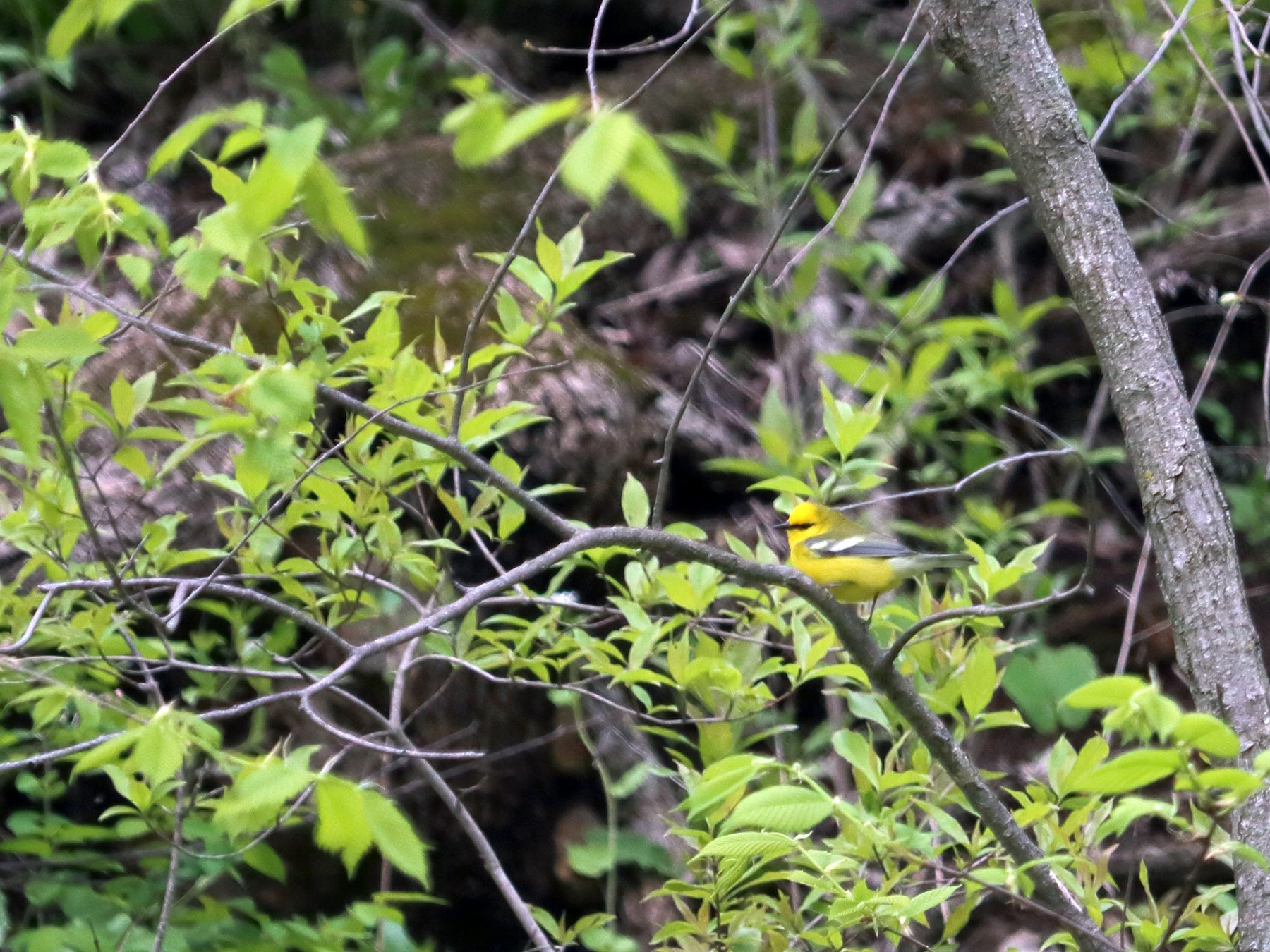 Blue-winged Warbler - Elista Fisher