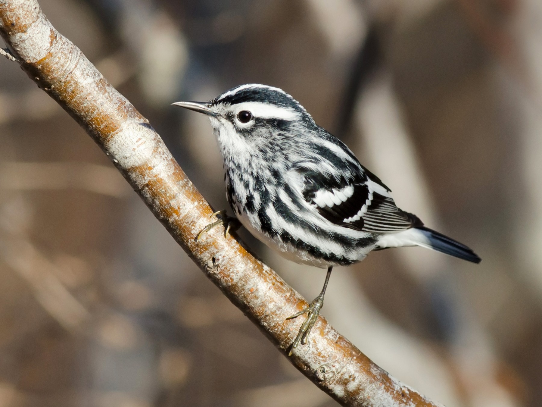 Black-and-white Warbler - Alix d'Entremont