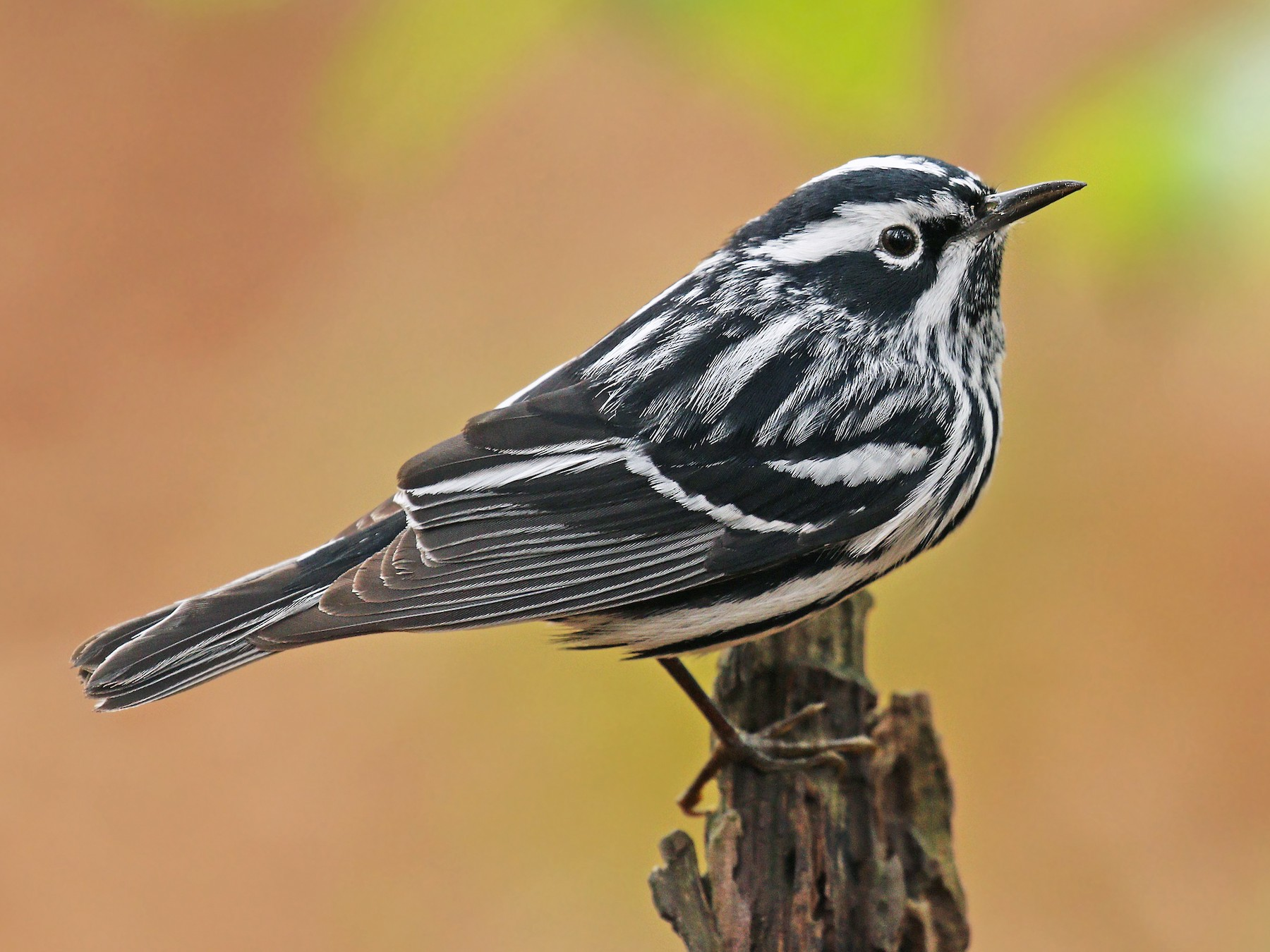 Black-and-white Warbler - Ryan Schain