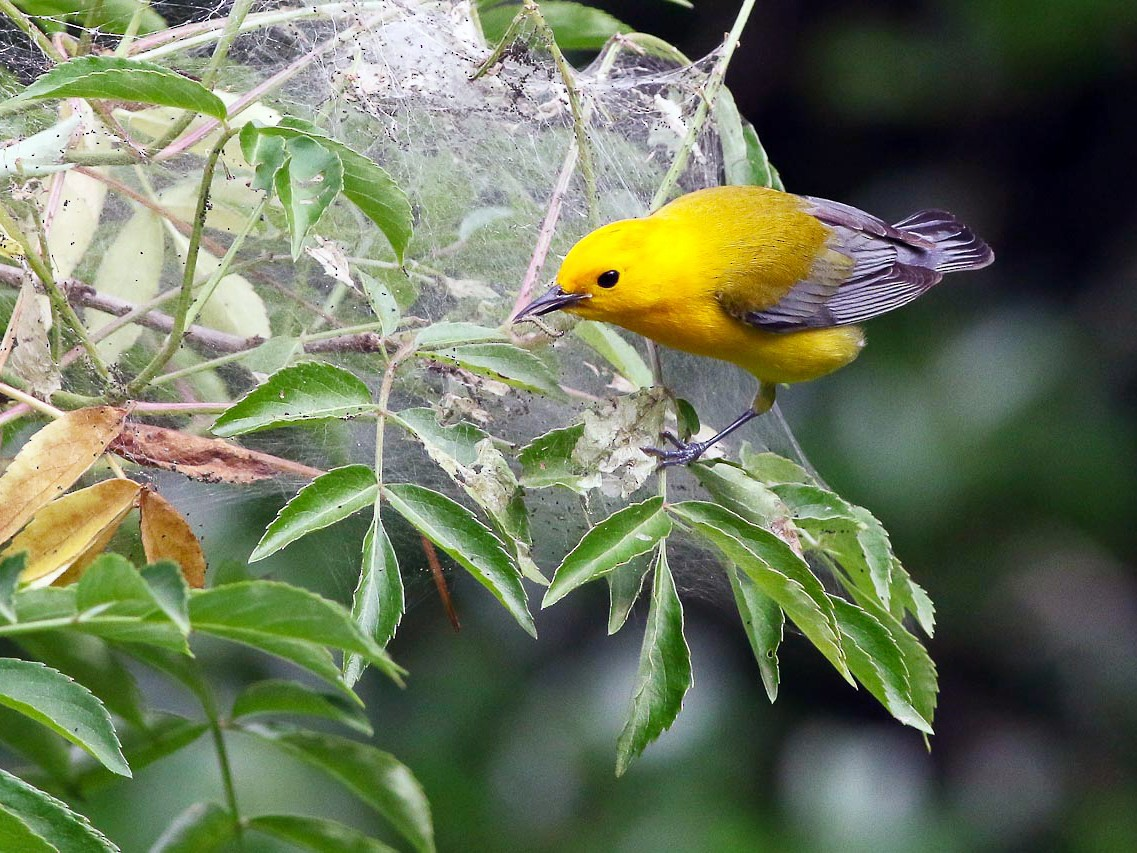 Prothonotary Warbler - Michael O'Brien