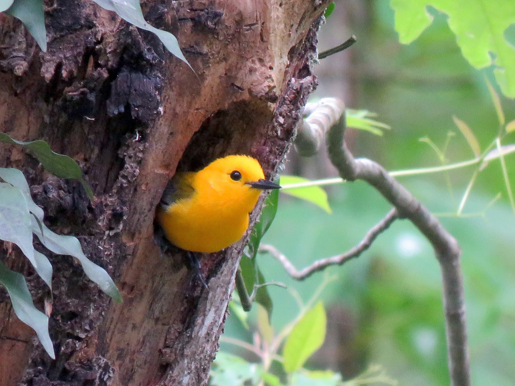 Prothonotary Warbler - Kim Harrell