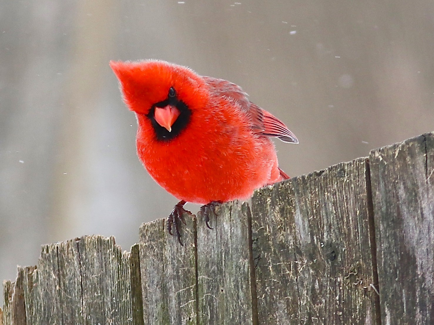 Northern Cardinal - Tom Amico