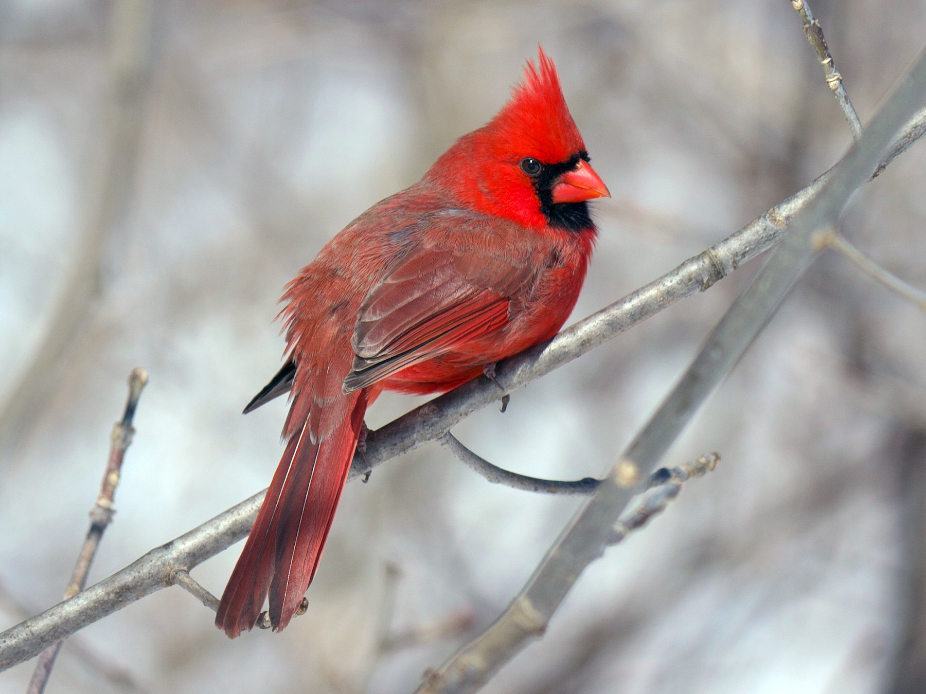 Northern Cardinal - Paul Tavares