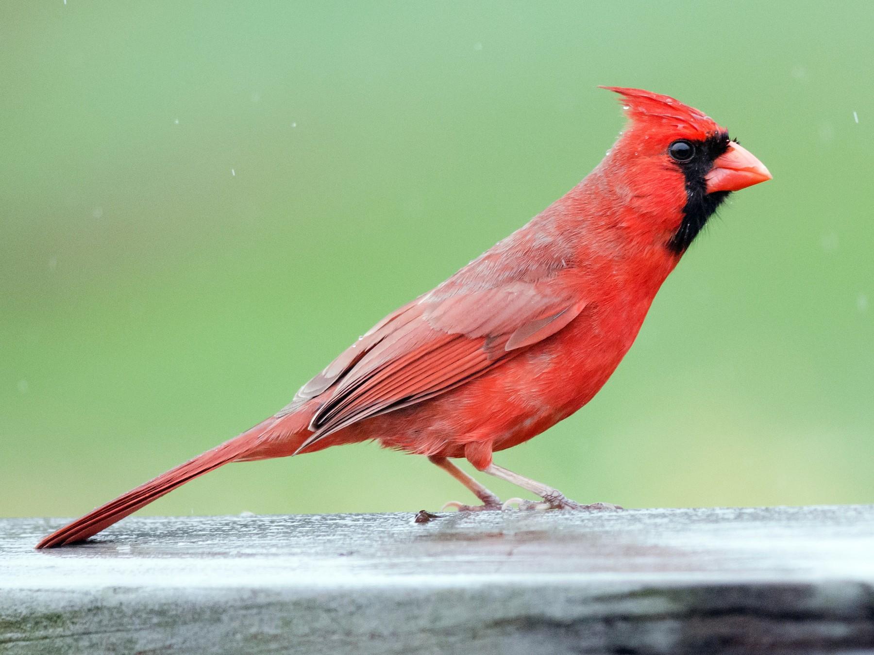 Northern Cardinal - Alix d'Entremont