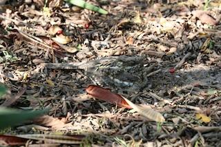 - Square-tailed Nightjar