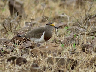 - Brown-chested Lapwing