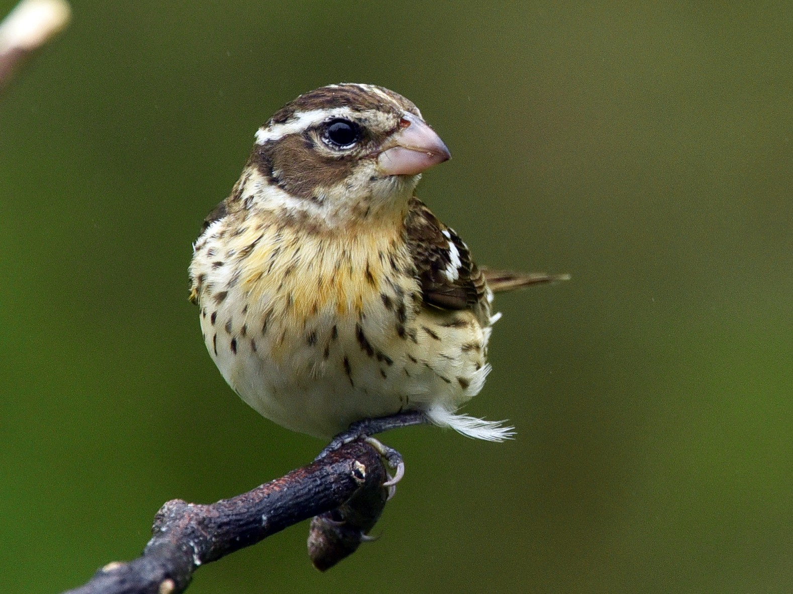 Rose-breasted Grosbeak - Deborah Bifulco