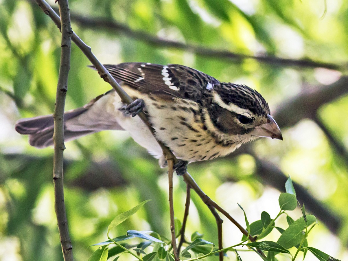 Rose-breasted Grosbeak - William Keim