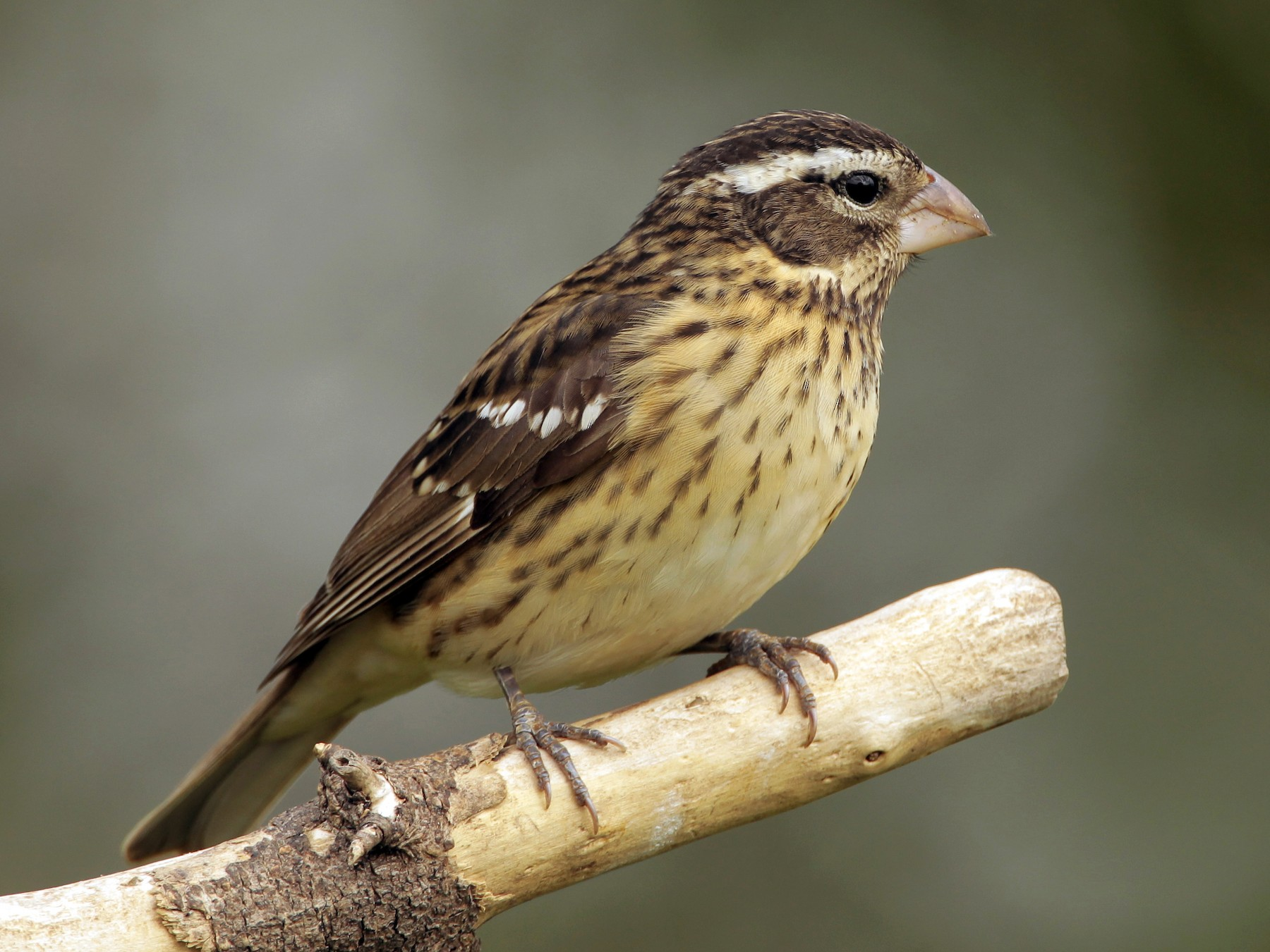 Rose-breasted Grosbeak - James Kinderman