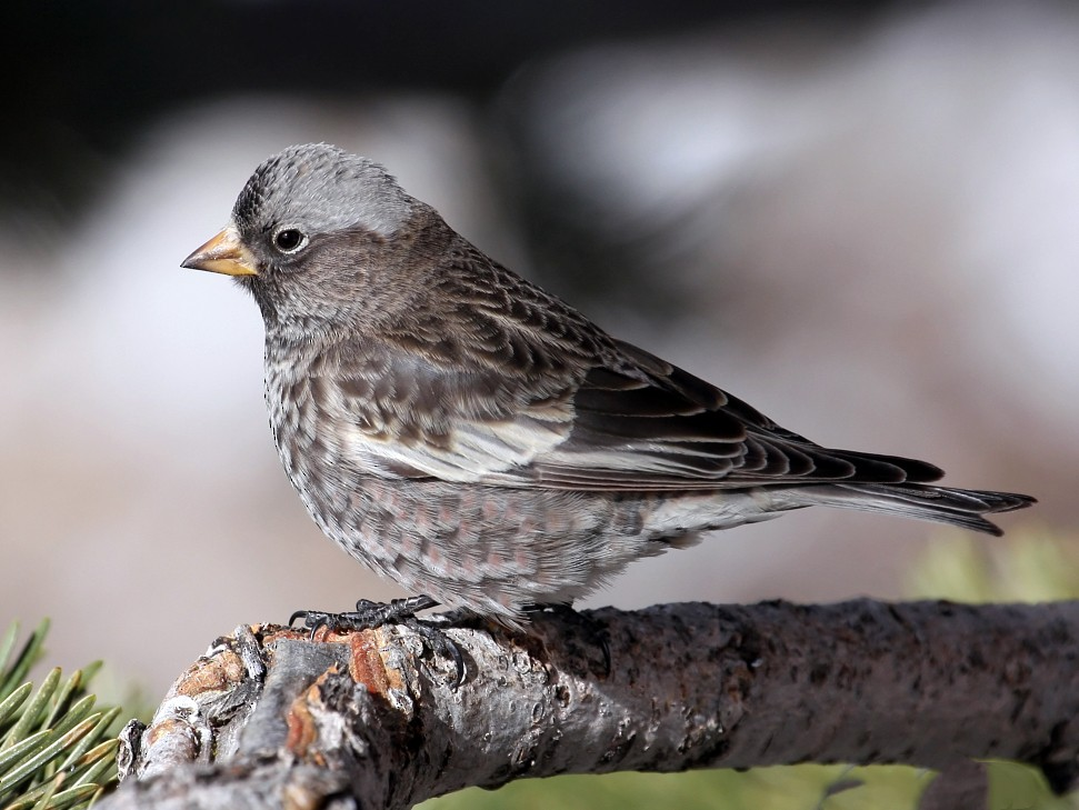 Black Rosy-Finch - Steve Collins