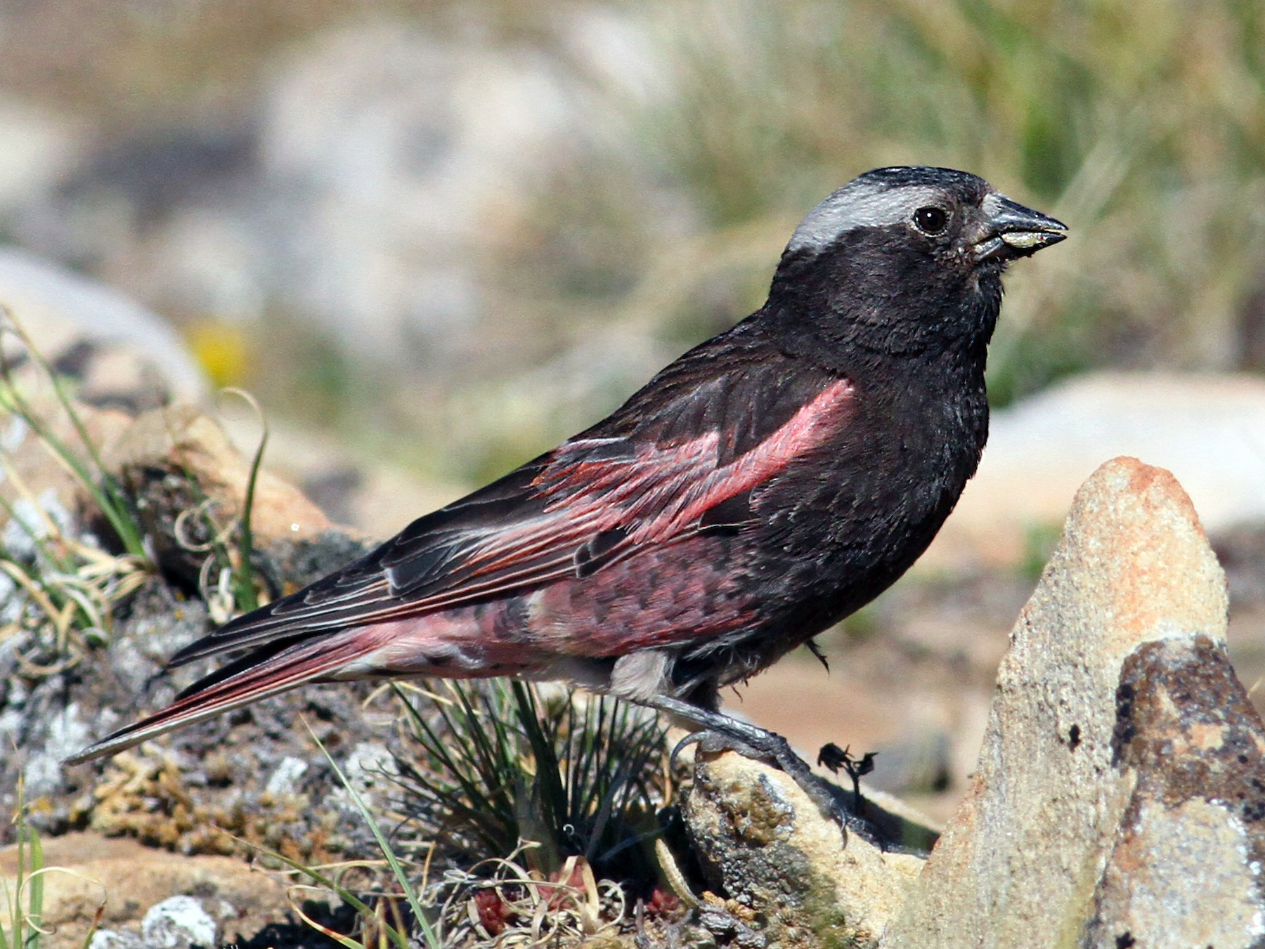 Black Rosy-Finch - Luke Seitz