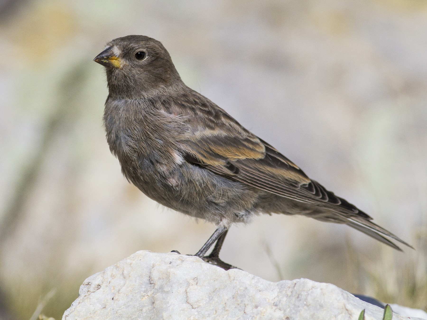 Black Rosy-Finch - Jacob Drucker