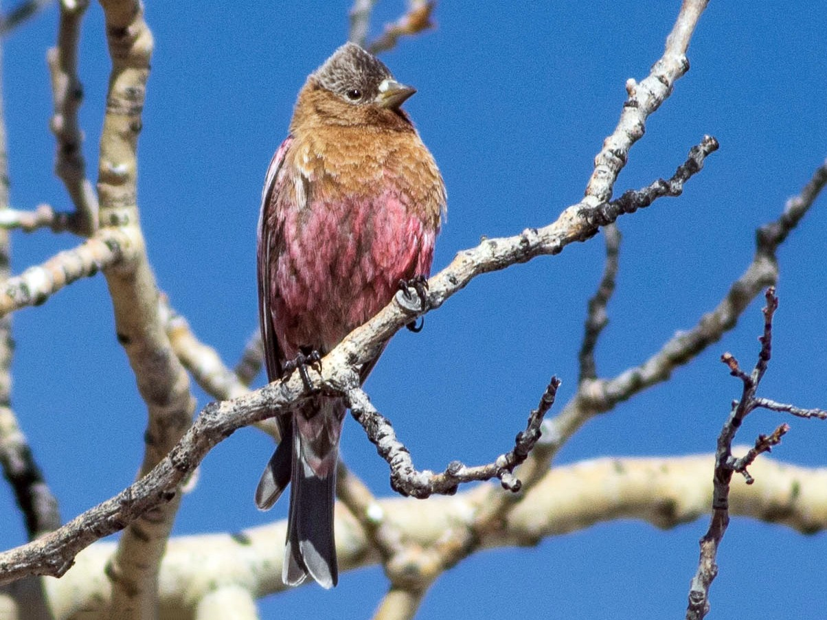 Brown-capped Rosy-Finch - Ashley Wahlberg (Tubbs)