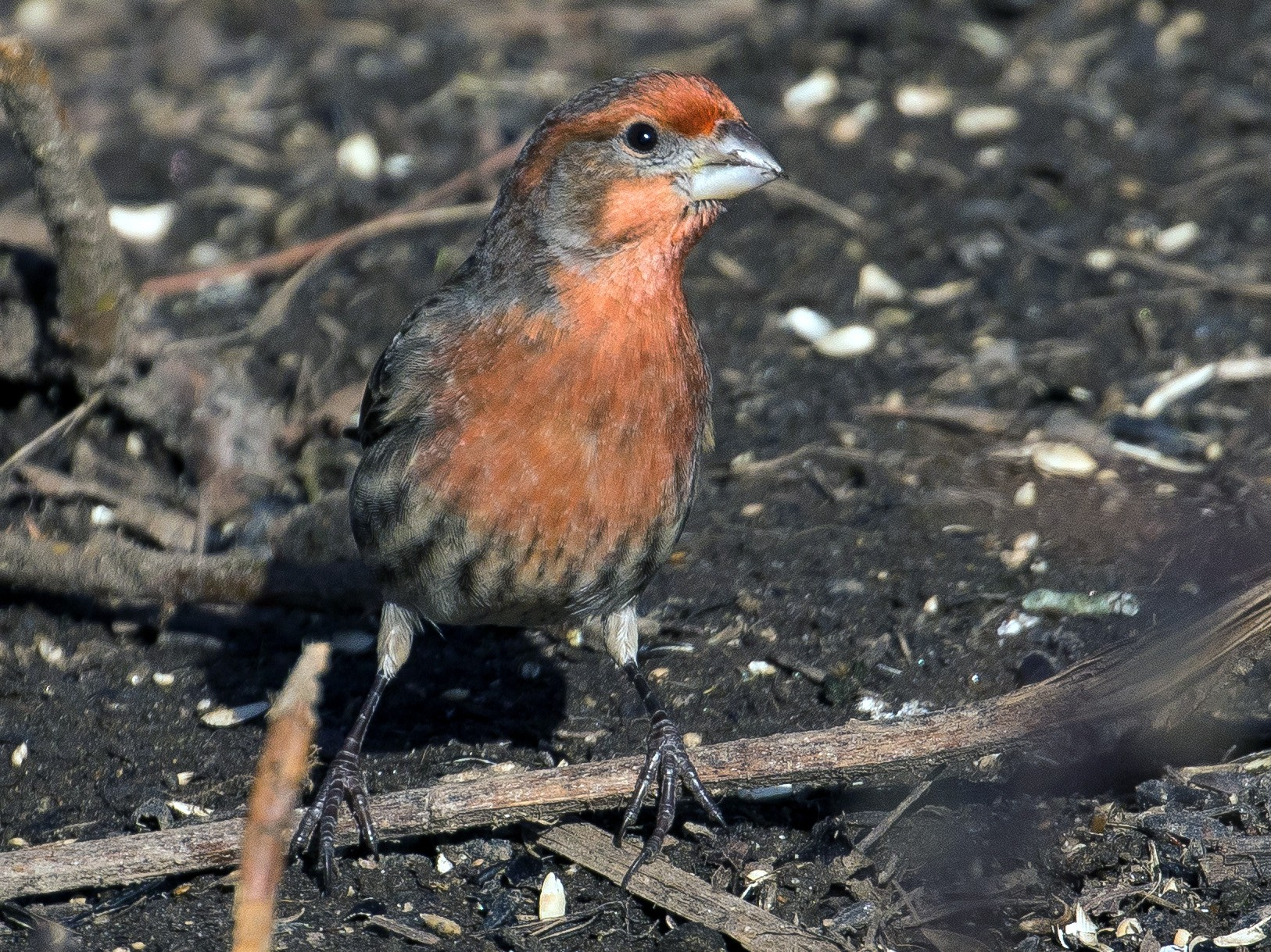 House Finch - John Reynolds