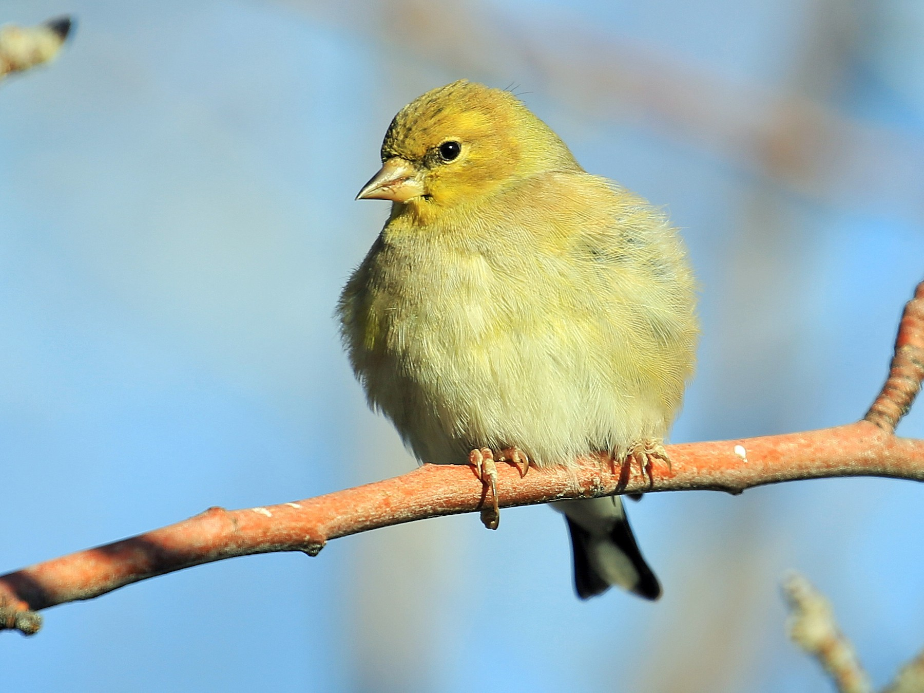 American Goldfinch - Tim Lenz