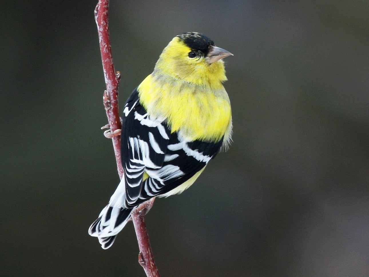 American Goldfinch - Yves Dugré