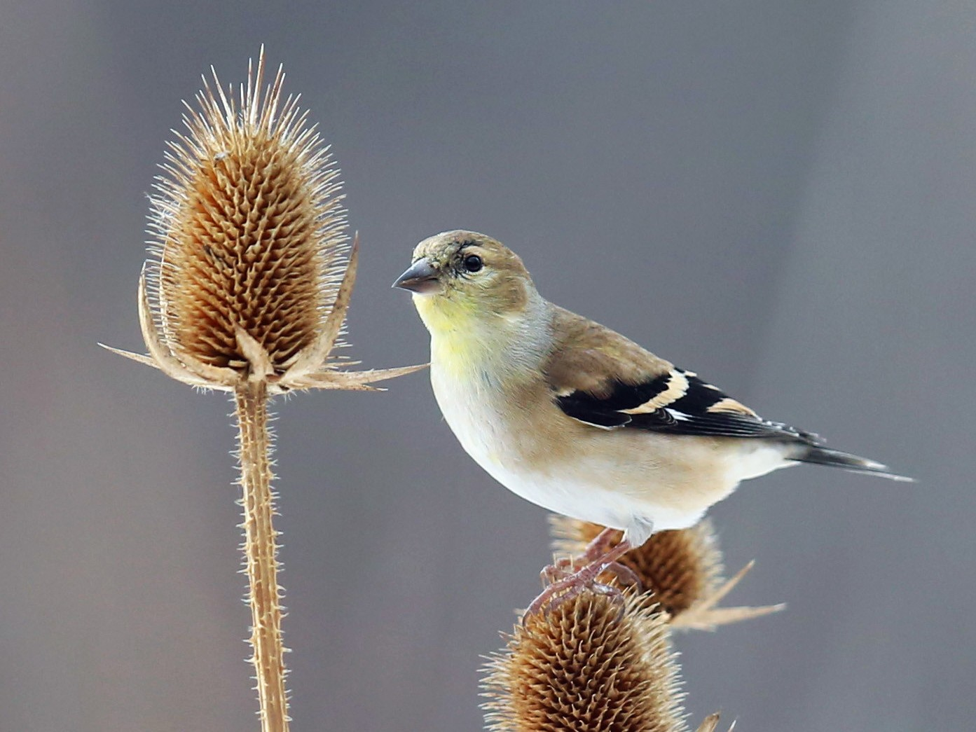 American Goldfinch - Anonymous eBirder
