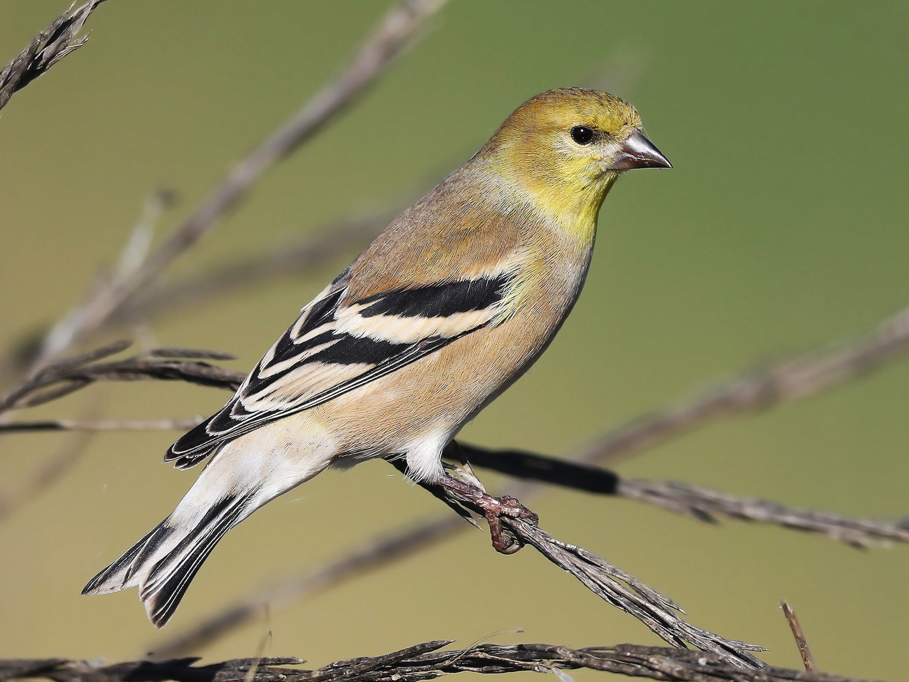 American Goldfinch - Matt Davis
