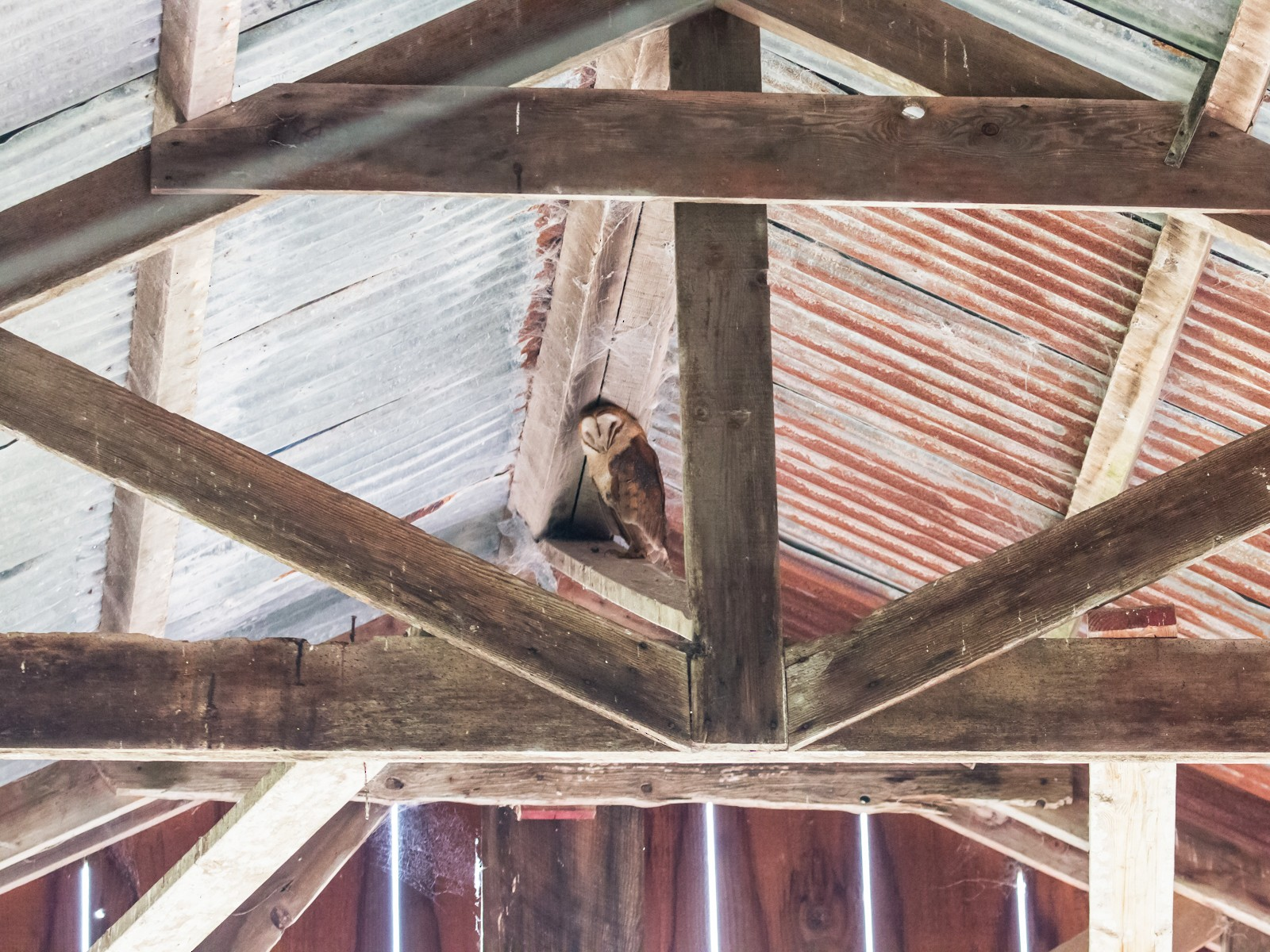 Barn Owl - Carolyn Belknap