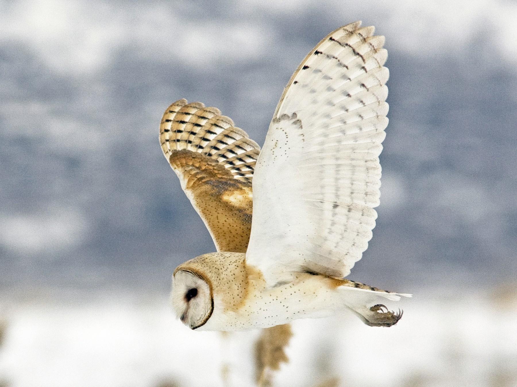 Barn Owl - Brian Sullivan