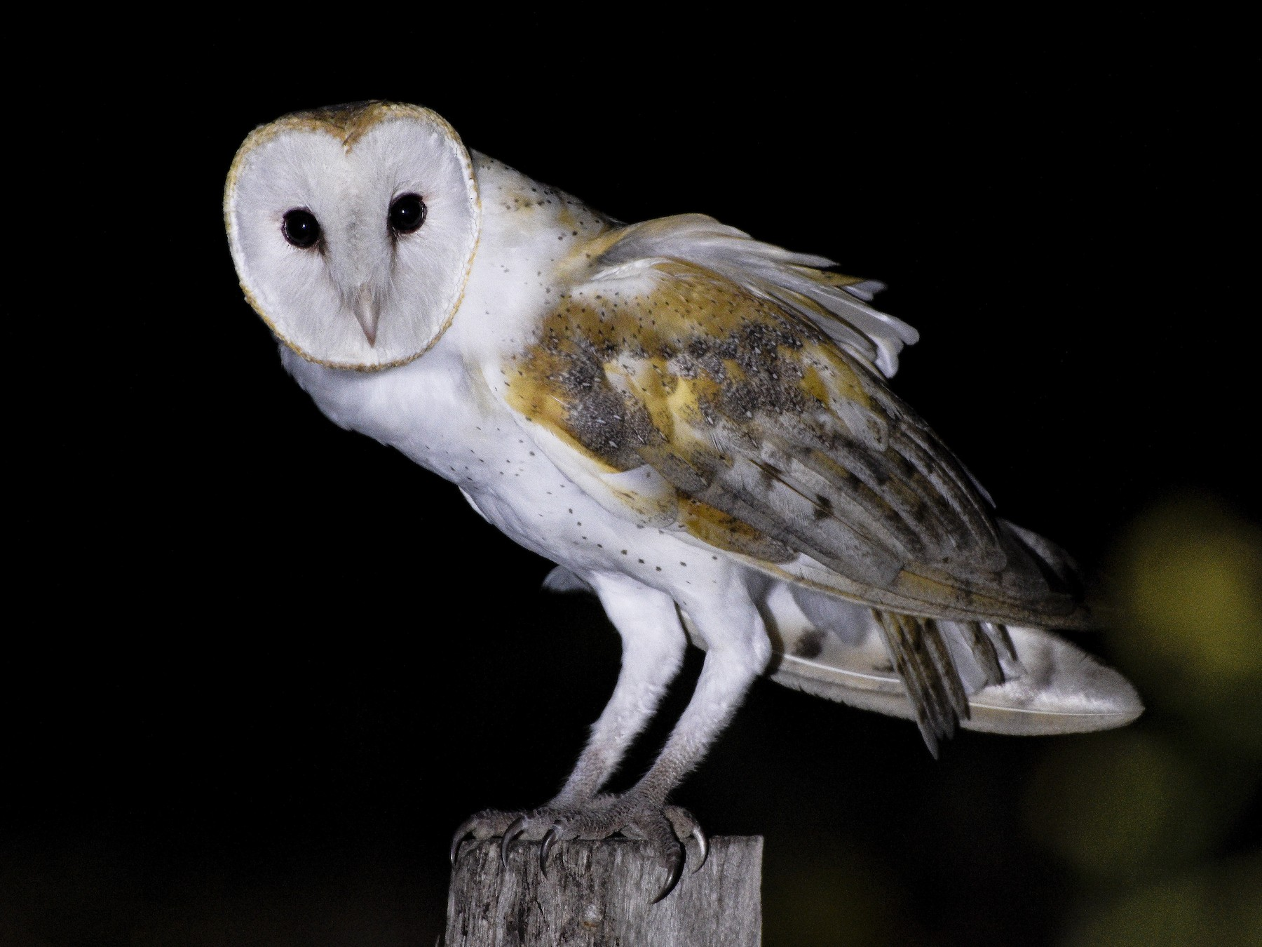 Barn Owl - Carlos Echeverría