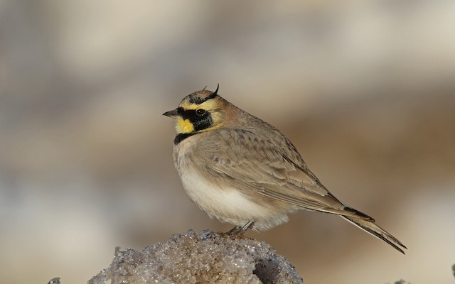 Horned Lark (Atlas)