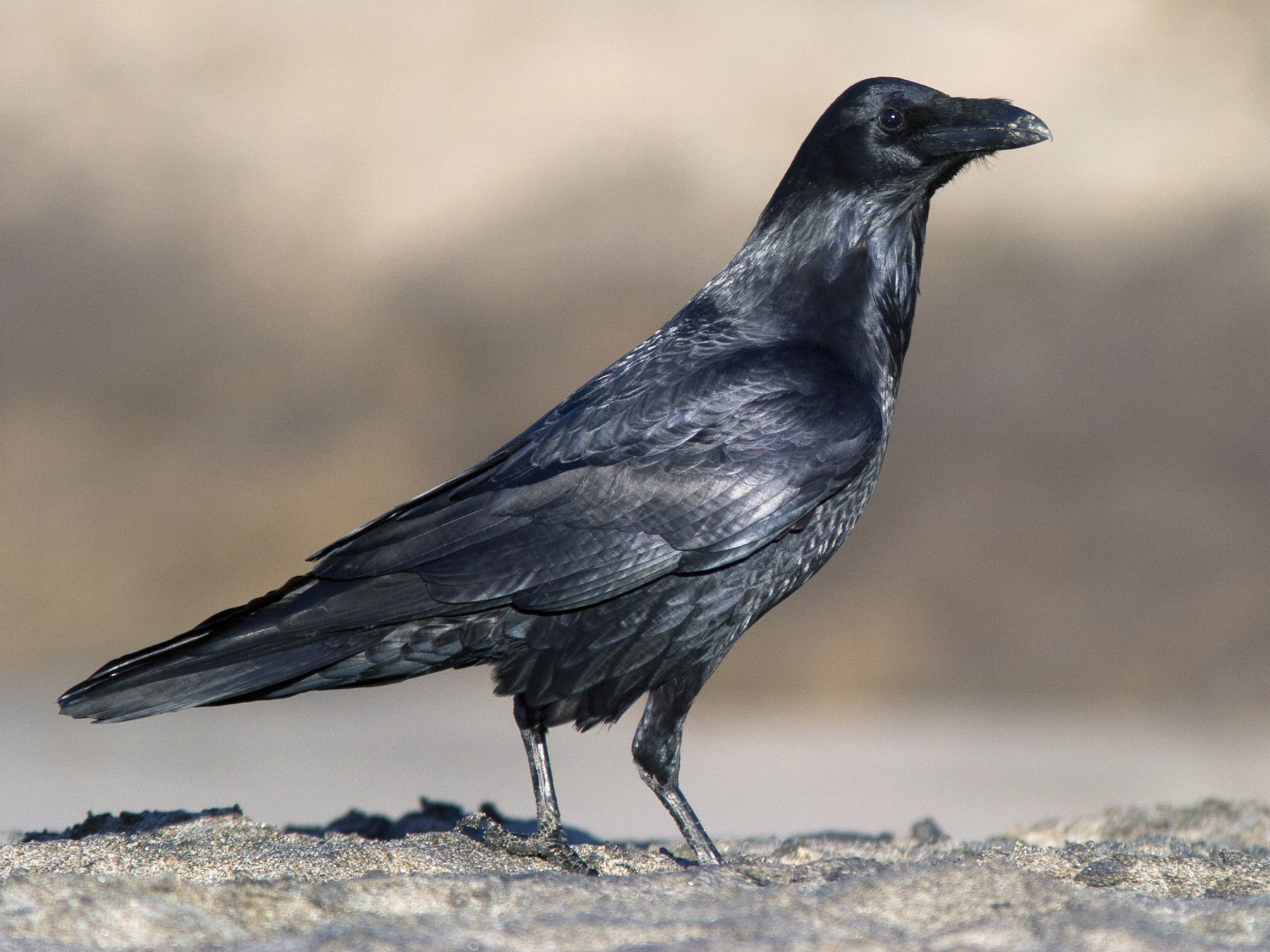 Common Raven - Brian Sullivan