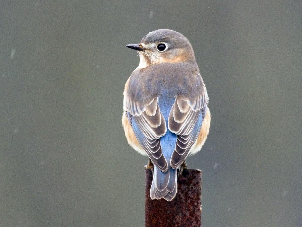 Eastern Bluebird - Gordon Dimmig