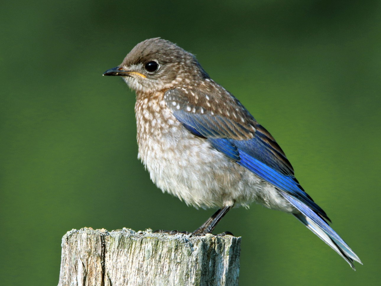 Eastern Bluebird - Michel Laquerre