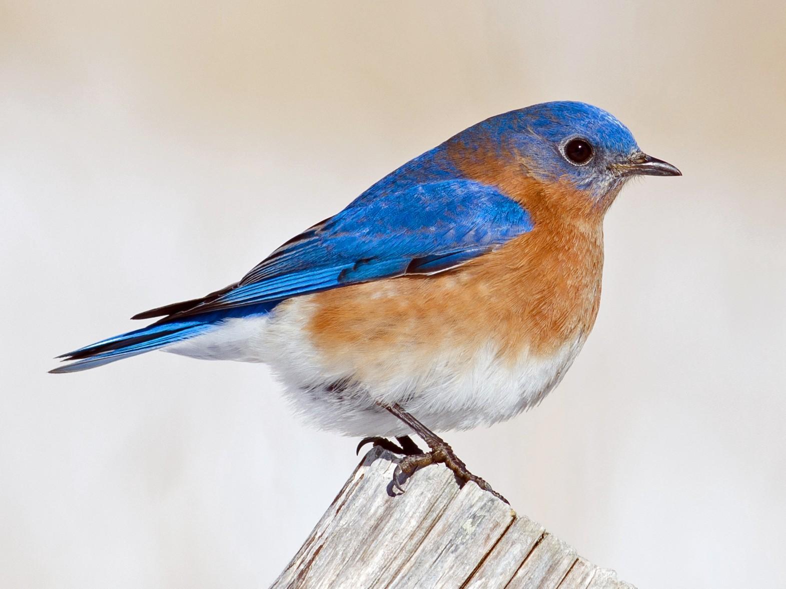 Eastern Bluebird - Alix d'Entremont